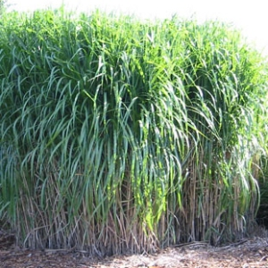 Miscanthus permaculture