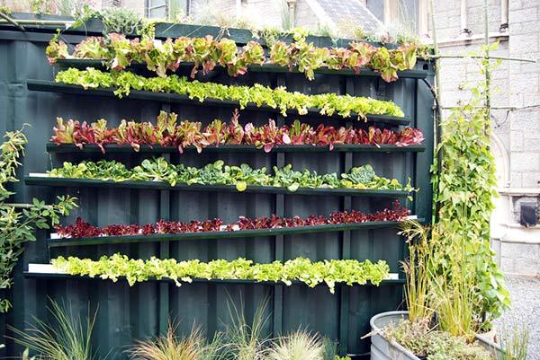 Salade qui poussent dans gouttiere