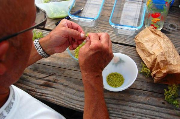 Cueillette de plantes sauvages comestibles