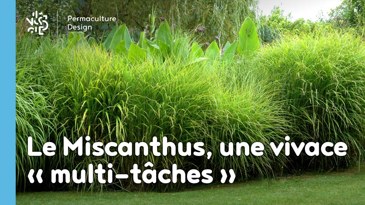 Le miscanthus, une plante vivace multifonction très permaculture!!!