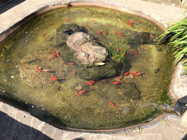 Bassin poisson rouge dans jardin permaculture