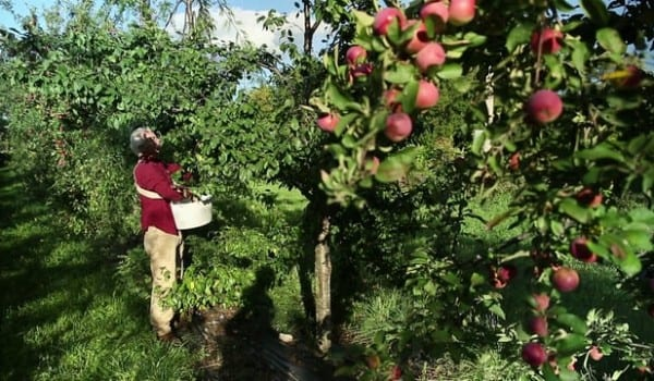 Découvrez un verger en permaculture existant, retour d'expériences, arbres fruitiers utilisés, les bonnes associations, comment procéder…