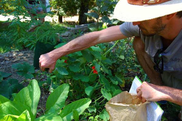 Cueilleur en pleine récolte de plantes sauvages comestibles