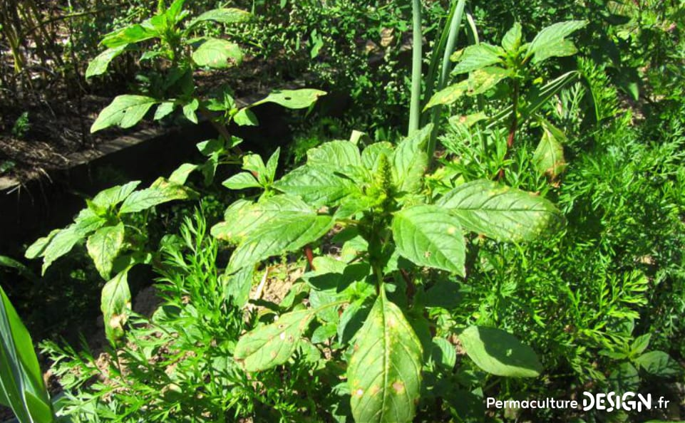 plantes-sauvages-sante-permaculture-design-06_amarante