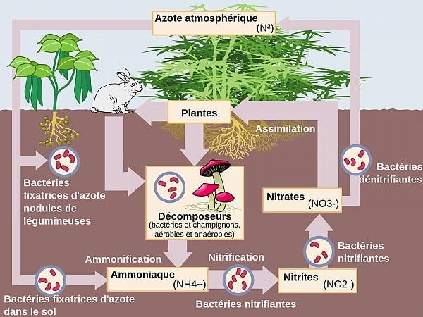 L'azote est essentiel à la vie et la fertilité de nos jardins en permaculture car c'est un nutriment pour la croissance de nos plantes.