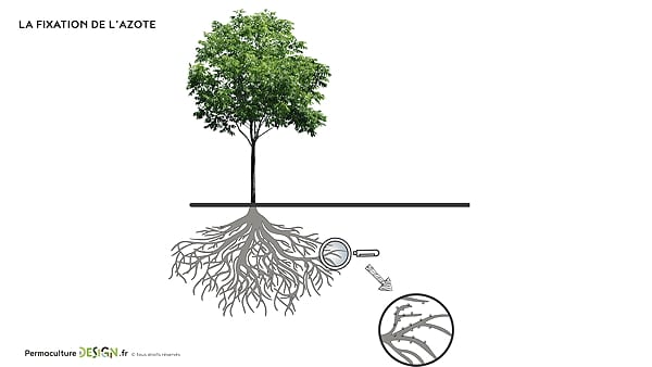 cycle-azote-nutriment-fertilite-permaculture-design-05