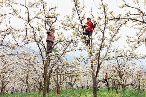 Hand Pollination on pears orchads in Hanyuan,  Sichuan.