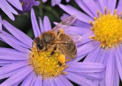 abeilles-pollinisateurs-recoltes-permaculture-design_03.jpg