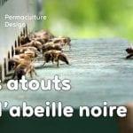 Pourquoi réintroduire l'abeille noire en apiculture?