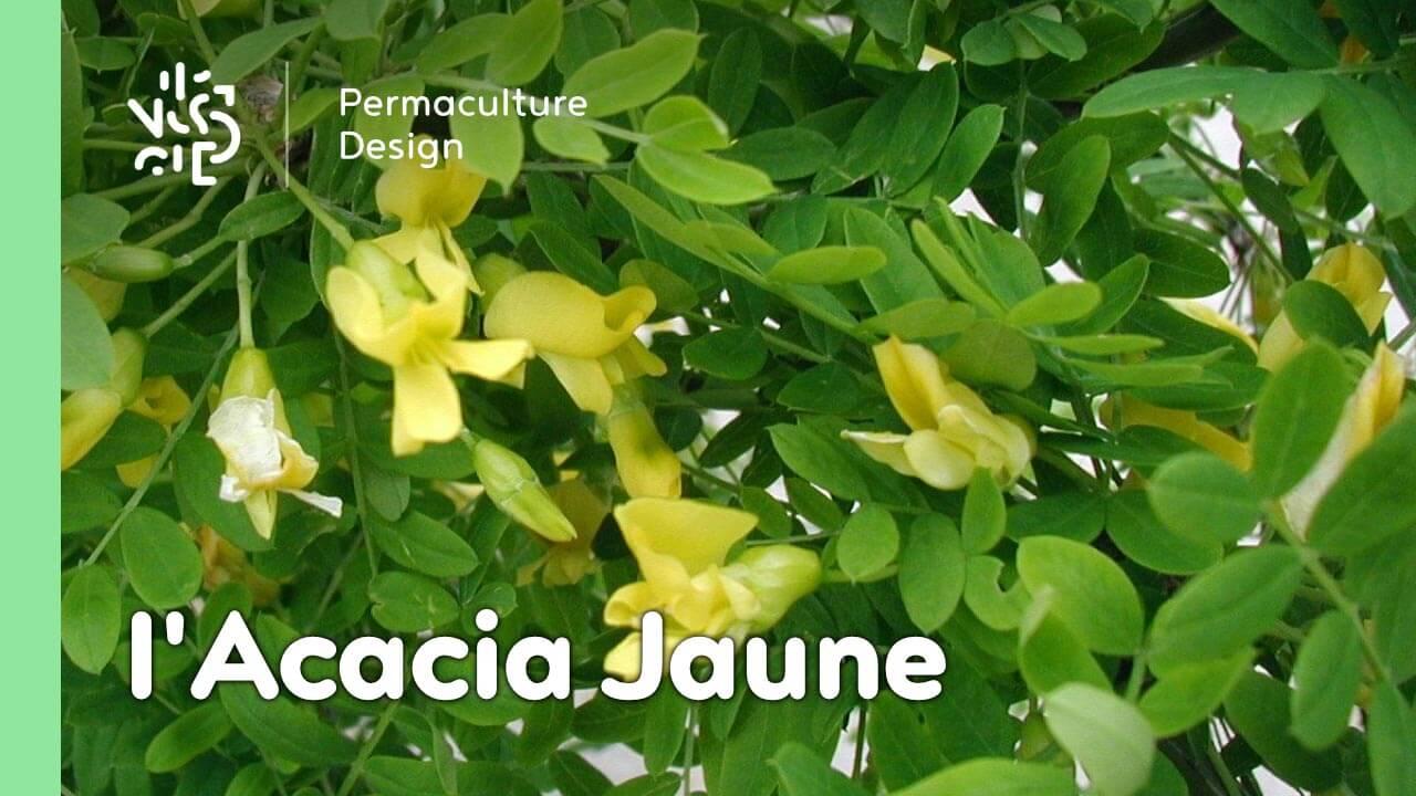 L'Acacia Jaune