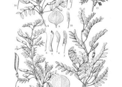 plante-permaculture-acacia-jaune-caraganier- siberie-pois-arbre-aux-pois-caragana arborescens-design_02