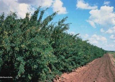 plante-permaculture-acacia-jaune-caraganier- siberie-pois-arbre-aux-pois-caragana arborescens-design_03