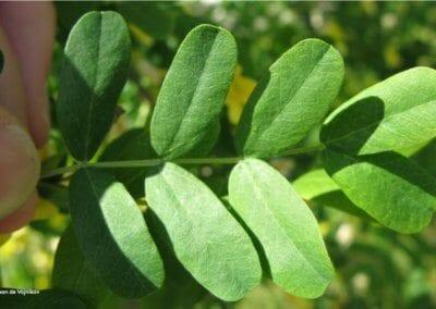 plante-permaculture-acacia-jaune-caraganier- siberie-pois-arbre-aux-pois-caragana arborescens-design_05
