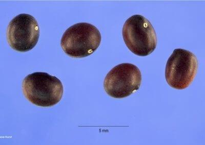 plante-permaculture-acacia-jaune-caraganier- siberie-pois-arbre-aux-pois-caragana arborescens-design_06