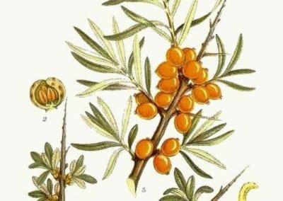 plante-permaculture-argousier-hippophae-rhamnoides-griset-saule-epineux-argasse-epine-luisantedesign_02