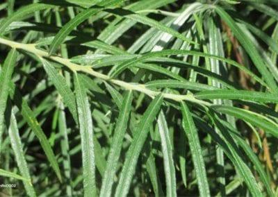 plante-permaculture-argousier-hippophae-rhamnoides-griset-saule-epineux-argasse-epine-luisantedesign_05