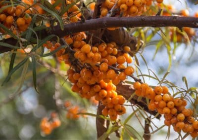 plante-permaculture-argousier-hippophae-rhamnoides-griset-saule-epineux-argasse-epine-luisantedesign_06