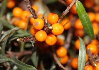 plante-permaculture-argousier-hippophae-rhamnoides-griset-saule-epineux-argasse-epine-luisantedesign_07