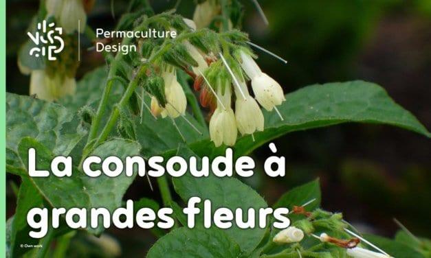 La consoude à grandes fleurs