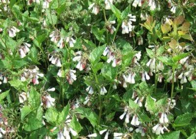 plante-permaculture-consoude-grande-feuille-symphytum-grandiflorum-herbe-aux-charpentiers-consyre-crasse-recene-pecton-design_02