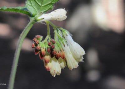 plante-permaculture-consoude-grande-feuille-symphytum-grandiflorum-herbe-aux-charpentiers-consyre-crasse-recene-pecton-design_03