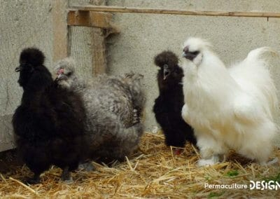 bien-choisir-poules-elevage-familiale-traditionnel-formation-permaculture-design_04