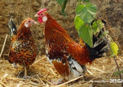 bien-choisir-poules-elevage-familiale-traditionnel-formation-permaculture-design_11