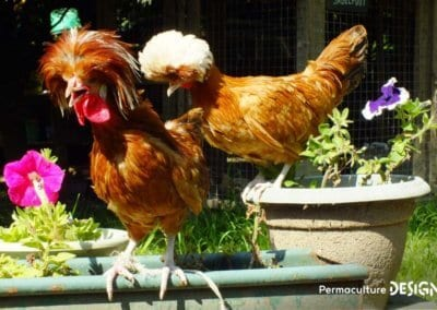 bien-choisir-poules-elevage-familiale-traditionnel-formation-permaculture-design_17