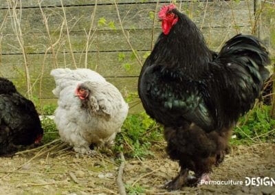 bien-choisir-poules-elevage-familiale-traditionnel-formation-permaculture-design_20