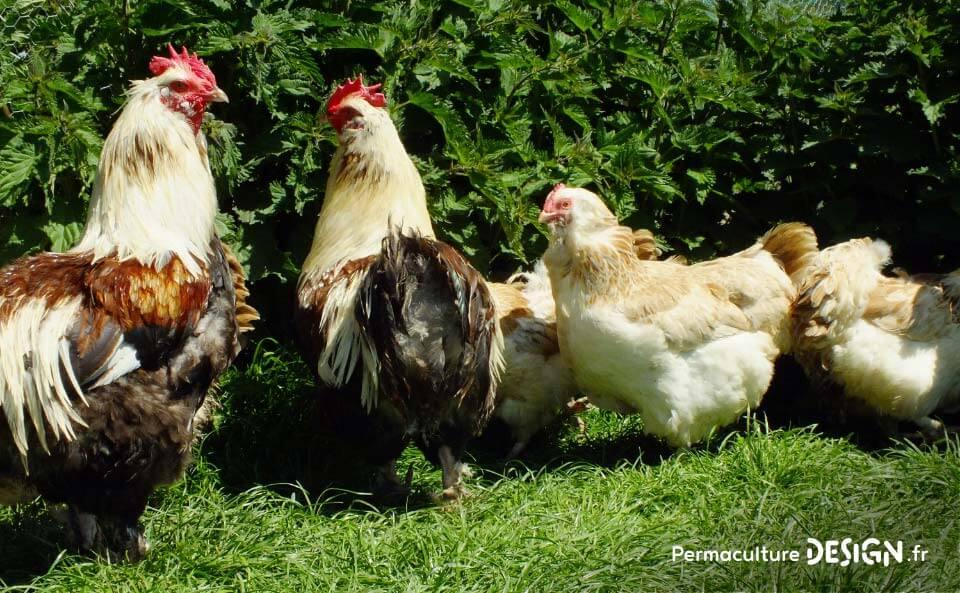 Hervé Husson, éleveur passionné, vous guide pour bien choisir les poules de votre petit élevage familial traditionnel.