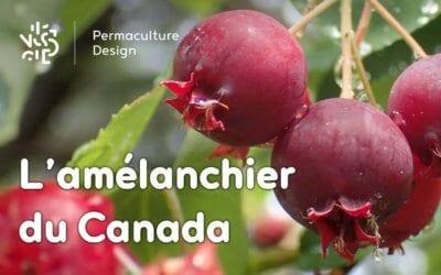 L'amélanchier du Canada