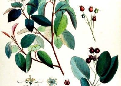 L'amélanchier canadensis ou amélanchier du Canada est une plante rustique très utile en permaculture.