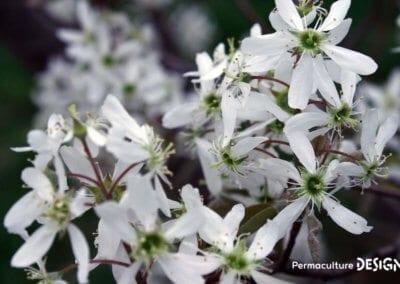 plante-permaculture-amelanchier-canadensis-du-canada-petite-poire-design_04
