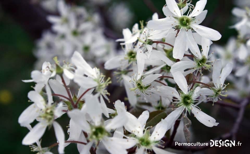 une fleur de Martin 24 septembre trouvé par Ajonc Plante-permaculture-amelanchier-canadensis-du-canada-petite-poire-design_04