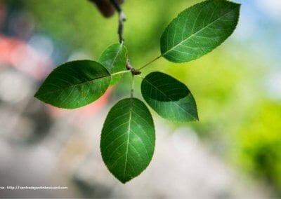 plante-permaculture-amelanchier-canadensis-du-canada-petite-poire-design_05