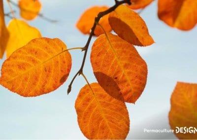 plante-permaculture-amelanchier-canadensis-du-canada-petite-poire-design_06