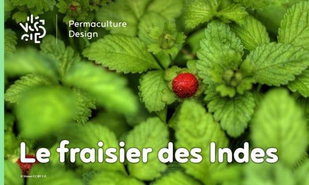 Le fraisier des Indes