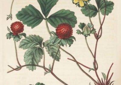 plante-permaculture-duchesnea-indica-fraisier-indien-des-indes-design_02