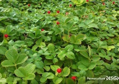 plante-permaculture-duchesnea-indica-fraisier-indien-des-indes-design_03