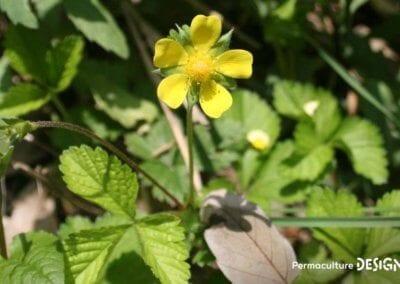 plante-permaculture-duchesnea-indica-fraisier-indien-des-indes-design_04