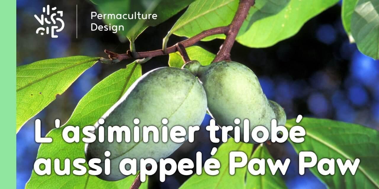 Quel Fruit Planter Au Printemps l'asiminier trilobé aussi appelé paw paw