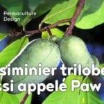 L'asiminier trilobé aussi appelé Paw Paw