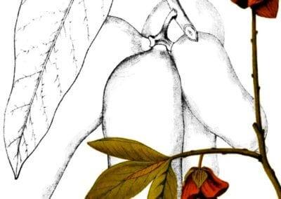 plante-permaculture-asiminier-trilobe-paw-paw-asimina-triloba-arbre-a-banane-design_02