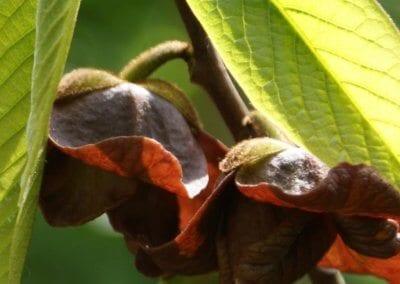 plante-permaculture-asiminier-trilobe-paw-paw-asimina-triloba-arbre-a-banane-design_04