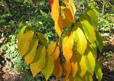 plante-permaculture-asiminier-trilobe-paw-paw-asimina-triloba-arbre-a-banane-design_05