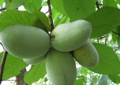 plante-permaculture-asiminier-trilobe-paw-paw-asimina-triloba-arbre-a-banane-design_06