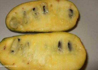 plante-permaculture-asiminier-trilobe-paw-paw-asimina-triloba-arbre-a-banane-design_07