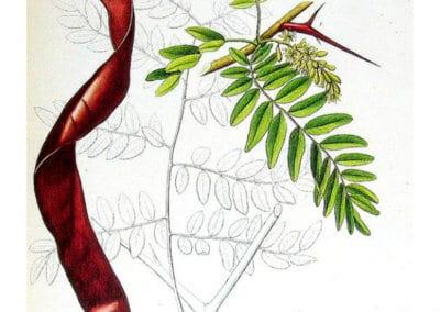 plante-permaculture-fevier-amerique-Gleditsia-triacanthos-design_02