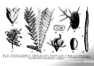 plante-permaculture-fevier-amerique-Gleditsia-triacanthos-design_03