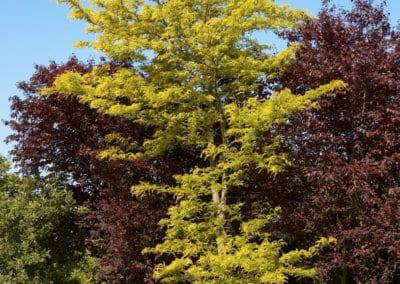 plante-permaculture-fevier-amerique-Gleditsia-triacanthos-design_04